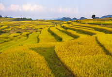 Terraced rice fields in Autumn Stock Image