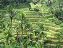 Terraced Rice Fields in Bali. Green, green terraced rice fields in Ubud, Bali Royalty Free Stock Photos