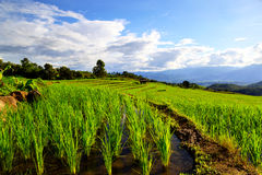 Terraced rice fields with blue sky Royalty Free Stock Images