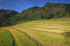 Fields of Golds Royalty Free Stock Photography