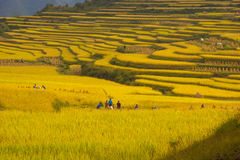 Terraced rice fields - Many people are working Stock Image