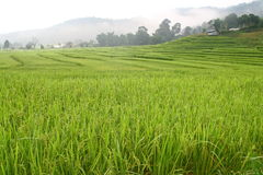 Terraced rice fields with mist view, Thailand Stock Photo