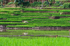 Terraced rice fields in northern Thailand Royalty Free Stock Photography