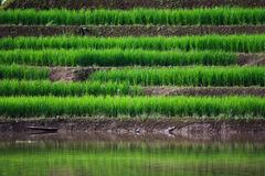 Terraced rice fields in northern Thailand Royalty Free Stock Photos