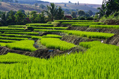 Terraced rice fields in northern Thailand Royalty Free Stock Image