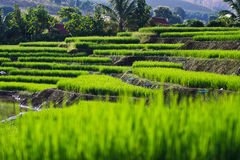 Terraced rice fields in northern Thailand Royalty Free Stock Photo
