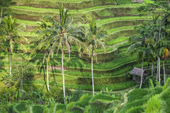Terraced rice-fields step Royalty Free Stock Images