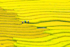 Terraced rice fields - three women visit their rice fields in Mu Cang Chai, Yen Bai, Vietnam Stock Photo