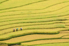 Terraced rice fields in Vietnam Royalty Free Stock Images