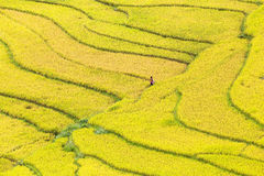 Terraced rice fields in Vietnam Royalty Free Stock Photo