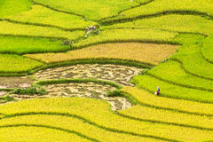 Terraced rice fields in Vietnam Royalty Free Stock Image