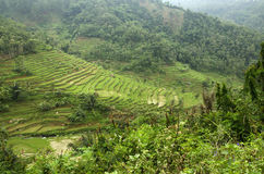 Terraced rice fields visible from cliff Stock Photo