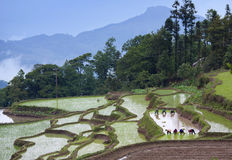 Terraced rice fields in Yuanyang county, Yunnan, China Royalty Free Stock Photos