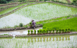 Terraced rice fields in Yuanyang county, Yunnan, China Stock Images