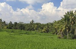 Terraced Rice Paddies, Bali Royalty Free Stock Images