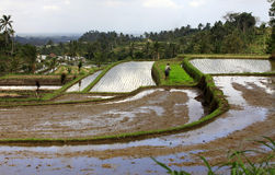 Terraced rice Royalty Free Stock Image