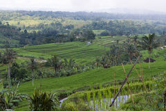 Terraced Rice Paddy. A shot overlooking traditional terraced rice paddies of Asia Royalty Free Stock Photo