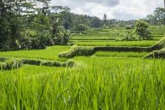 Terraced ricefield στους λόφους Ubud, Μπαλί, Ινδονησία Στοκ Φωτογραφία