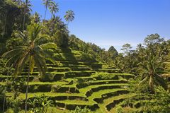 Terraced ricefield on Bali, Indonesia Royalty Free Stock Images