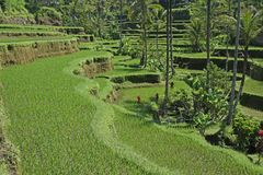 Terraced ricefield on Bali, Indonesia Royalty Free Stock Photo