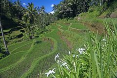 Terraced ricefield on Bali, Indonesia Royalty Free Stock Image