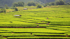 Terraced ripe rice field and hut Stock Images