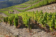Terraced vineyards of the Douro Valley Stock Photography