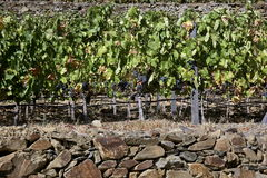 Terraced vineyards of the Douro Valley Royalty Free Stock Photo
