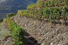 Terraced vineyards of the Douro Valley Stock Photo