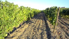Terraced vineyards in Douro Valley. Tilt move from bottom to top of terraced vineyards in Douro Valley, Alto Douro Wine Region in northern Portugal, officially stock footage