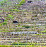 Terraced vineyards in the Wachau region Stock Images