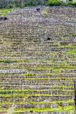 Terraced vineyards in the Wachau region Royalty Free Stock Images