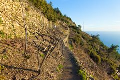Terraced vineyards in winter on the Ligurian coast stock photo