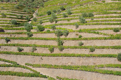 Terraces in Douro Valley Stock Photo