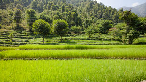 Terraces with green rice fields Royalty Free Stock Photography