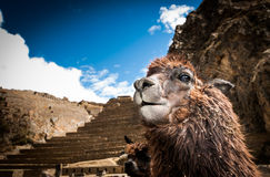 Terraces of Pisac in Urubamba valley near Cusco (Peru) Royalty Free Stock Image