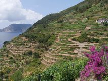 Cinque Terre - Vernazza. Terracing with vines and olive trees in Vernazza in Cinque Terre national park, Liguria, Italy royalty free stock photos