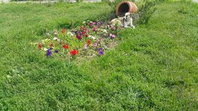 The flowers are heart-shaped, next to the basket sits a homeless brown white dog stock video footage