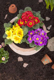 Terracotta flower pot with spring flowers Stock Image