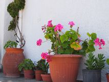 Terracotta Flower Pots Outside White Greek Island House. Green pot plants and pink flowers in terracotta pots outside a white painted Greek Island house, Greece Royalty Free Stock Photography