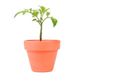 Terracotta Planter with Medium Tomato Plant Stock Photo
