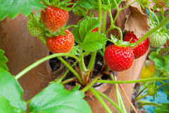 Terracotta planter with ripe strawberries Royalty Free Stock Photos