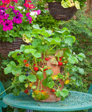 Terracotta planter with ripe strawberries Royalty Free Stock Photo