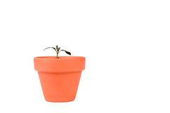 Terracotta Planter with Small Tomato Plant Stock Images