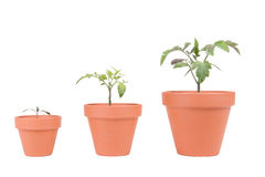Terracotta Planters with Tomato Plants Stock Photography