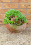Terracotta pot with house leeks. Royalty Free Stock Photos