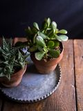 Terracotta Potted Succulents in Galvanized Metal Tray royalty free stock image