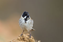 Terrain communal Reed Bunting de mâle Photo libre de droits