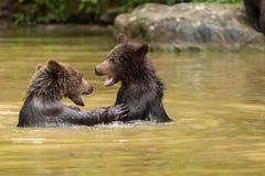 Terrain de jeu dans l'eau froide pour de jeunes ours Image libre de droits