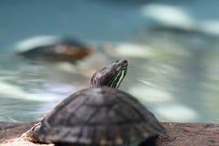 Terrain turtle Royalty Free Stock Image